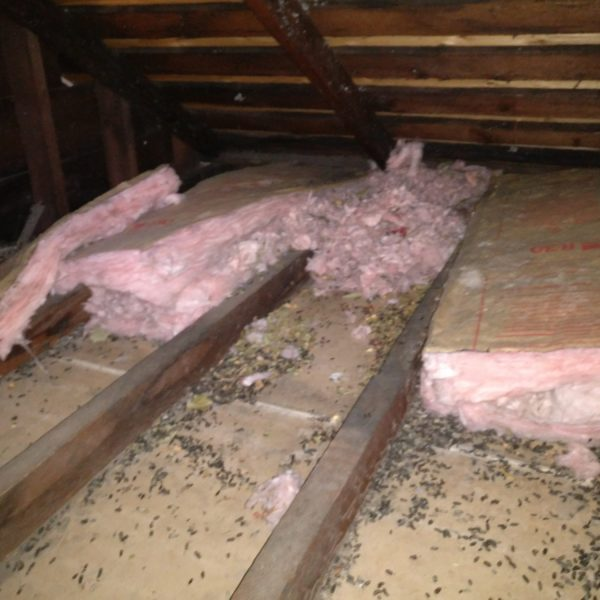 Attic insulation rodent infestation